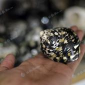Vỏ ốc xà cừ da rắn (Magpie Shells)