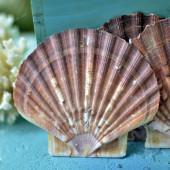 Vỏ sò điệp quạt Mexico (Mexican Flats Seashell)
