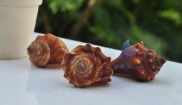 Vỏ ốc đùi gà ngắn (Spiral Melongena Shell)