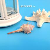 Vỏ ốc gai dài (Bent-spined Murex)