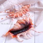 Vỏ ốc bò cạp miệng đen (Scorpion Conch Seashell)