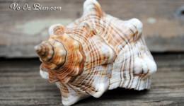 Vỏ ốc cáo sọc (Striped Fox Shells)