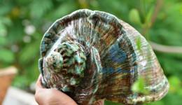 Vỏ ốc khảm xà cừ xanh lớn