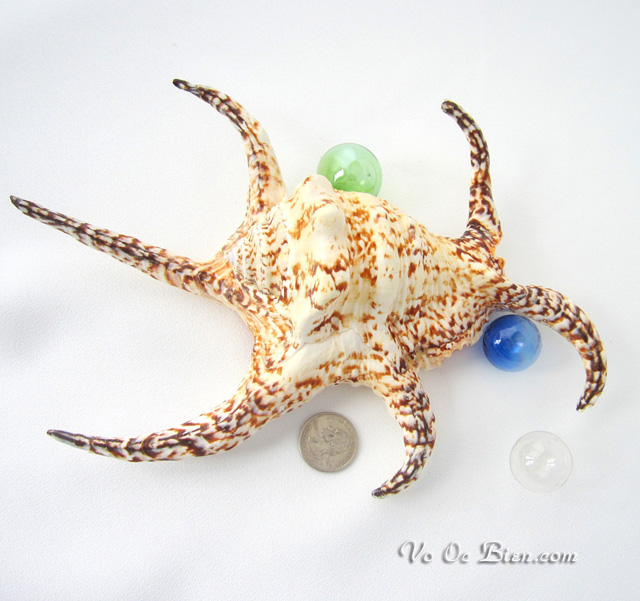 Vỏ ốc bàn tay (Chiragra Spider Conch)