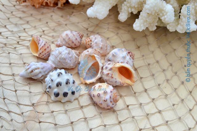 Vỏ ốc cầu cam đen - © bản quyền hình ảnh thuộc VoOcBien
