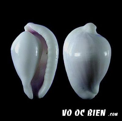 Vỏ ốc cò miệng hồng