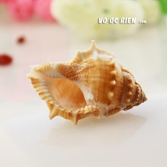 Vỏ ốc cóc ra-na (Common Frog Shell)