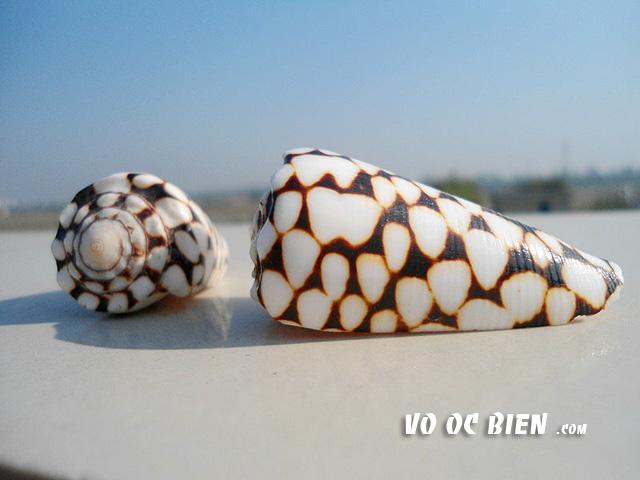 vỏ ốc cối da trăn sọc ngang (Vidua Cone):