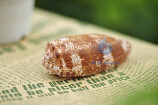 Vỏ ốc cối địa lý (Geography Cone Shell) (hình chụp tại VoOcBien)