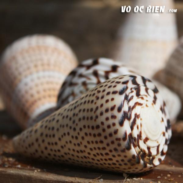 Vỏ ốc cối hột mè (Leopard Cone Shell)