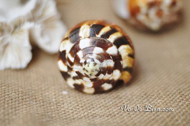 Vỏ ốc cối nâu (Flag Cone)