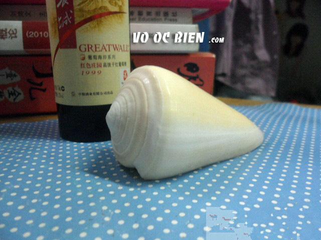 Vỏ ốc cối vàng đầu tím (Virgin Cone)