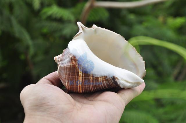 Vỏ ốc đá mũ vua (Pacific Crown Conch) - hình chụp tại VoOcBien