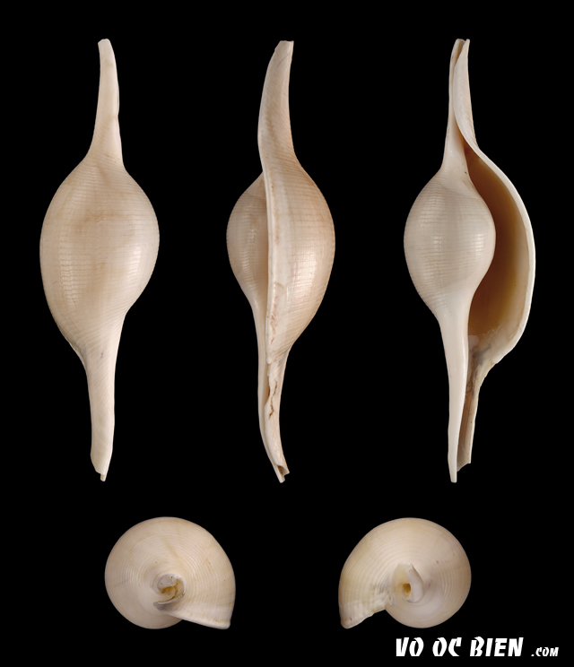 Vỏ ốc đòn gánh (Elongated Egg Cowry)