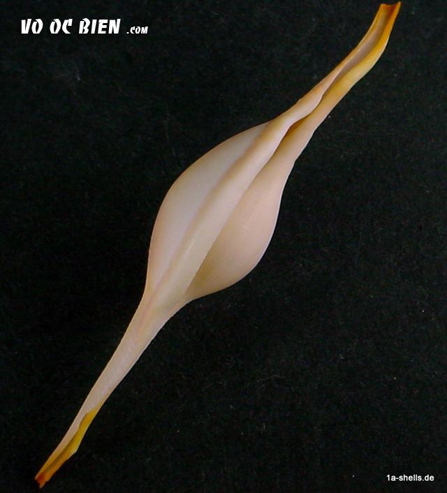 Vỏ ốc đòn gánh