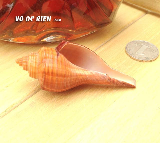 Vỏ ốc đùi gà (Spiral Melongena)