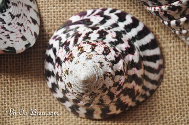 Vỏ ốc nón sọc đen (Cone-shaped Top - Female)