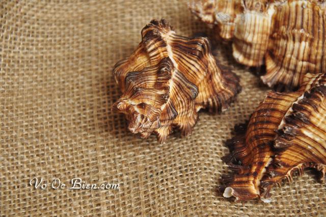 Vỏ ốc gai micro (Scorched Murex)