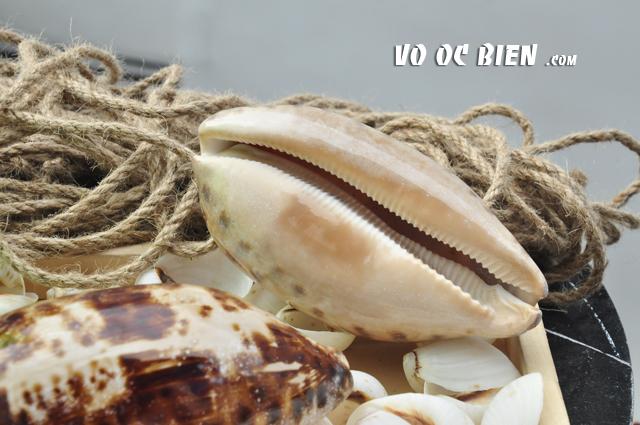 Vỏ ốc heo bông dài (Turtle Cowry)