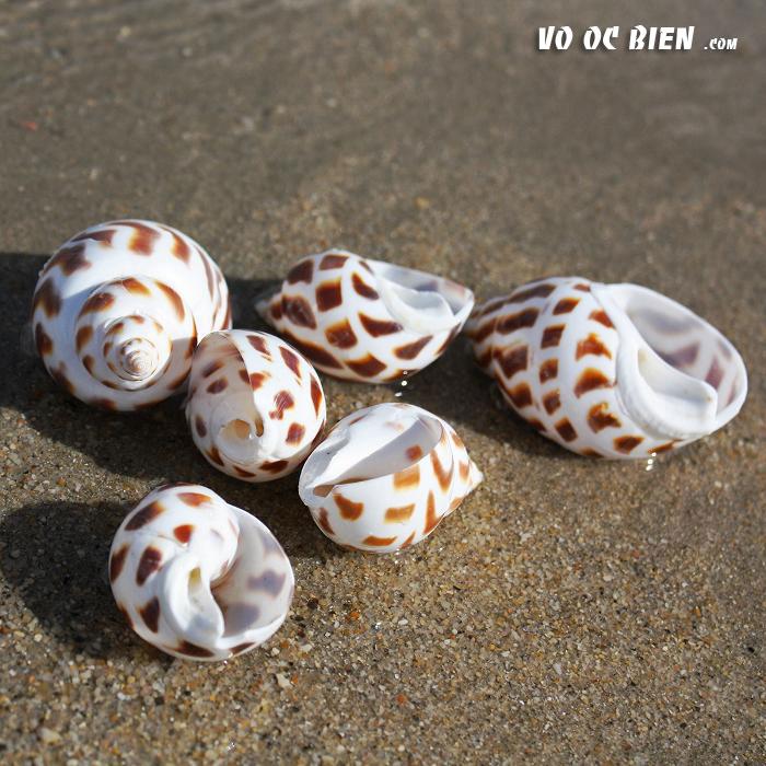 Vỏ ốc hương (Areola Babylon Seashells)