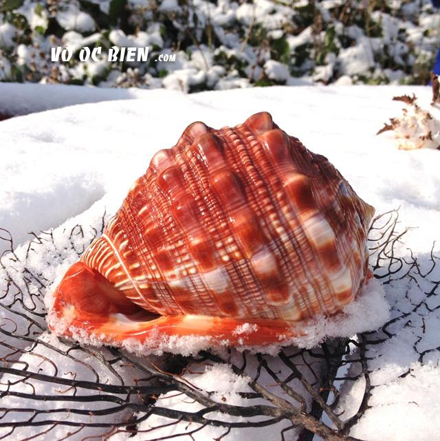 Vỏ ốc kim khôi đỏ (Red Hellmet)