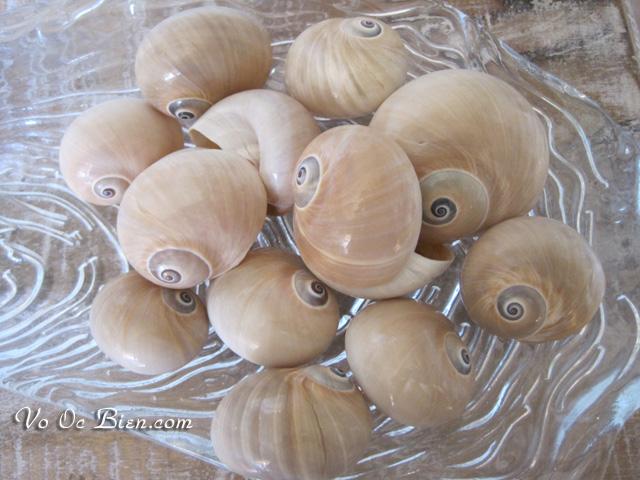 Vỏ ốc mỡ sọc rằn (Whale Eye Shells)