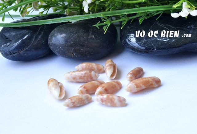 Vỏ ốc olive đỏ