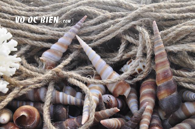 Vỏ ốc tháp (Turritellas Shell)