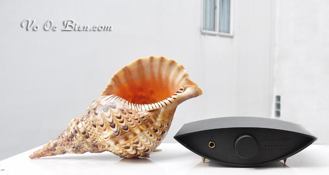 Vỏ ốc tù và bông - hoàng hậu (Trumpet Triton Shell)