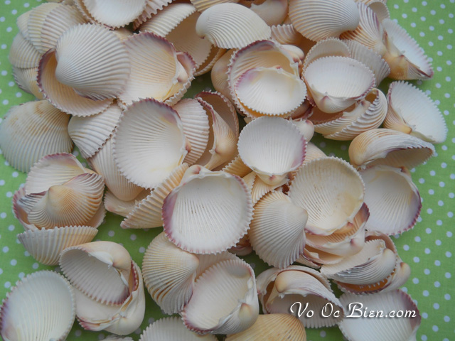 Vỏ sò dương (Prickly Cockle Sea Shells)