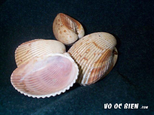 vỏ sò nứa dài