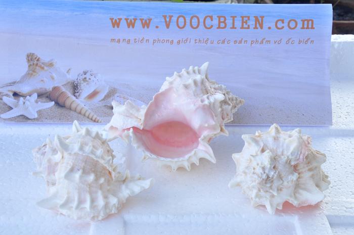 Vỏ ốc gai miệng hồng (Rose Murex Shell)
