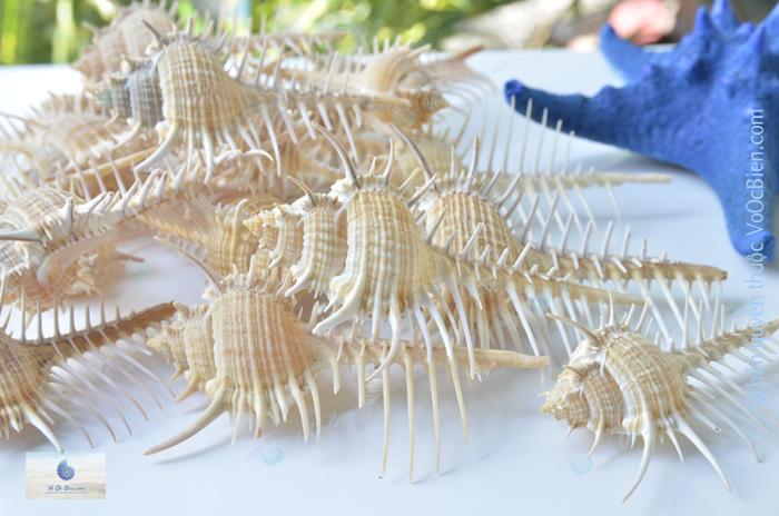 Vỏ ốc gai dài lược (Venus Comb Shell)
