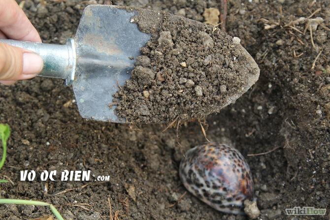 Làm sạch vỏ ốc biển (còn sống) bằng đất