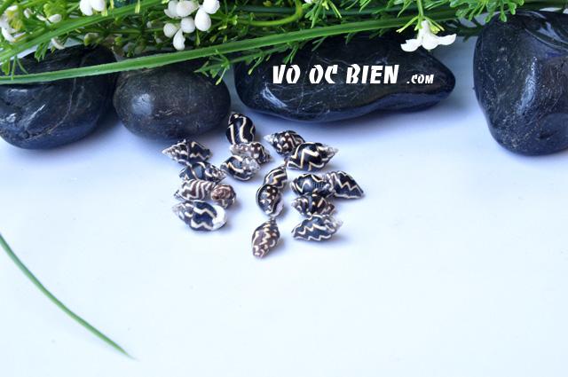Vỏ ốc bồ câu sọc nâu (Lightning Dove Shell)