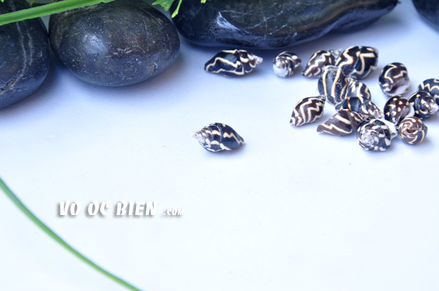vo-oc-bo-cau-soc-nau-lightning-dove-shell (5)