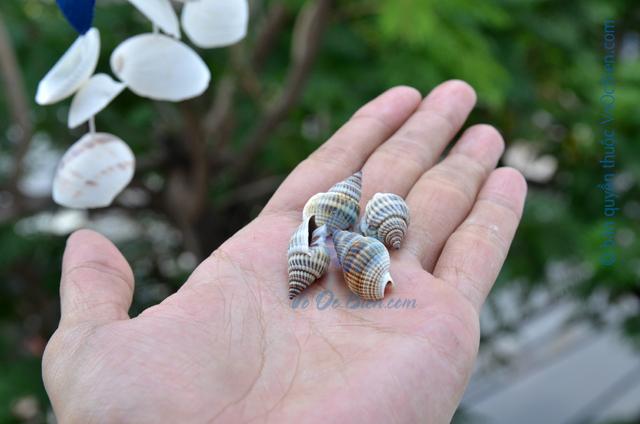 Vỏ ốc bùn (Necklace Nassa) - © bản quyền hình ảnh thuộc VoOcBien
