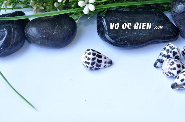 Vỏ ốc cối (Hebrew Cone)