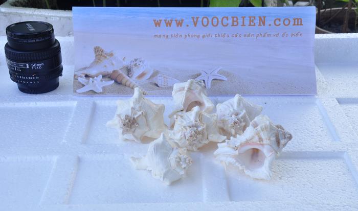 Vỏ Ốc Gai Virgin (Virgin Murex Shells)