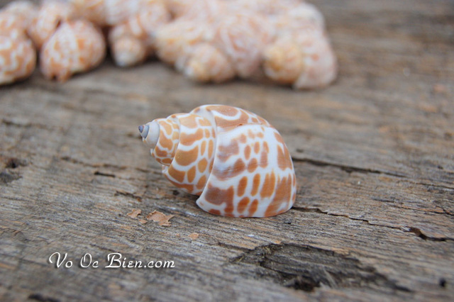 Vỏ ốc hương xoắn (Zeylandica Babylon SeaShells)