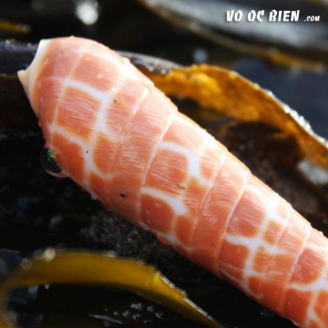 Vỏ ốc măng cam (Orange Auger)