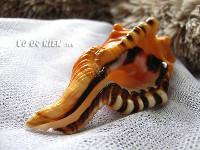 Vỏ ốc mỏ két (Black-striped Triton)