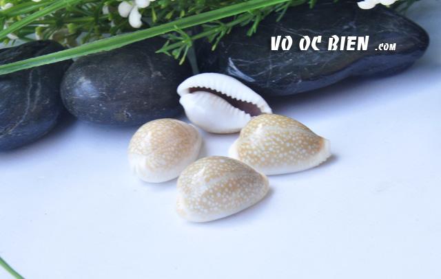vo-oc-nga-erosaria-cowrie (5)