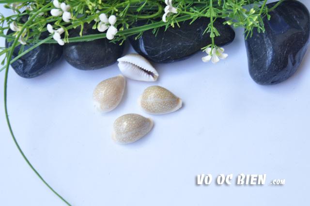 Vỏ ốc nga (Erosaria Cowrie)