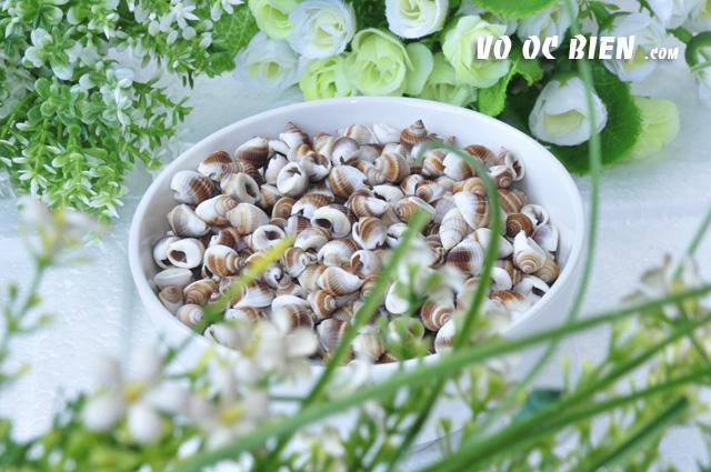 Vỏ ốc nho nâu trắng (Black Nassa)