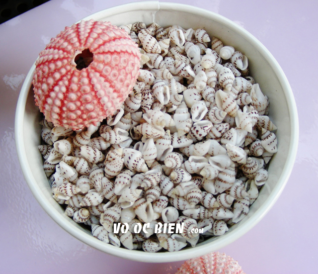 Vỏ ốc Tiny Dove Shells – India