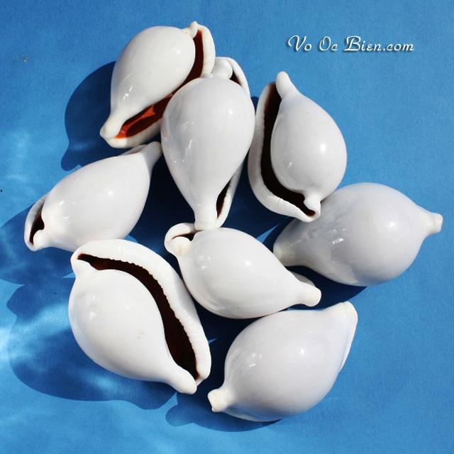 VỎ ỐC SỨ TRẮNG (Great Egg Shell)