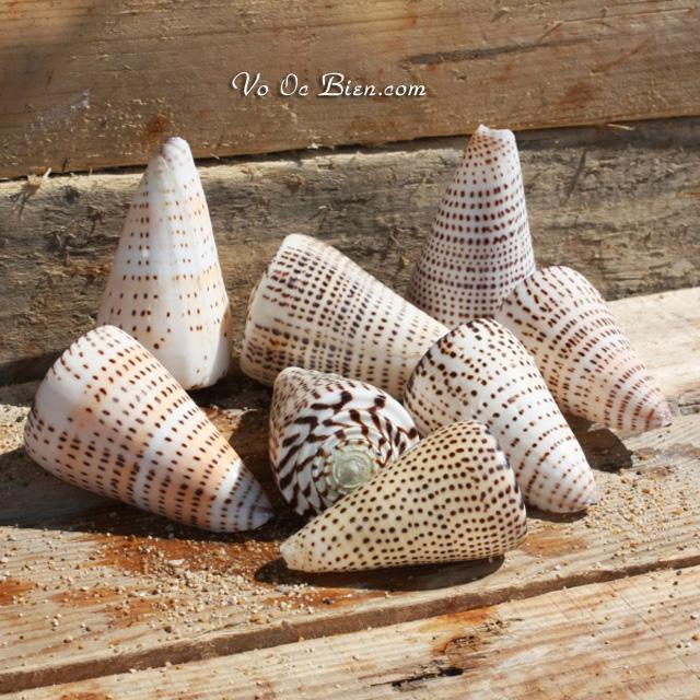VỎ ỐC CỐI HẠT MÈ (Leopard Cone Shell)