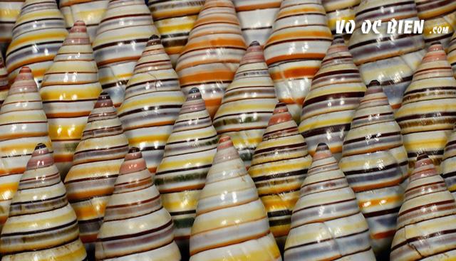 snail candycane có nguồn gốc từ các đảo ở Hispaniola