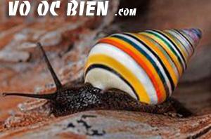 snail candycane là một loại ốc đặc biệt